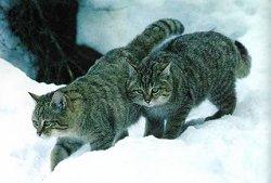Felis silvestris caucasica - siperiankissat juontavat mahdollisesti juurensa tästä kissalajista - ainakin yhdennäköisyys on silmiinpistävä- Nämä kissat ovat venäläiset tutkijat kuvanneet Armenian vuoristossa.